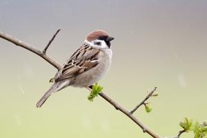 Tree sparrow, Passer montanus, single bird on branch, Warwickshire, April 2012